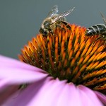 Macro photography of bees on a flower.
